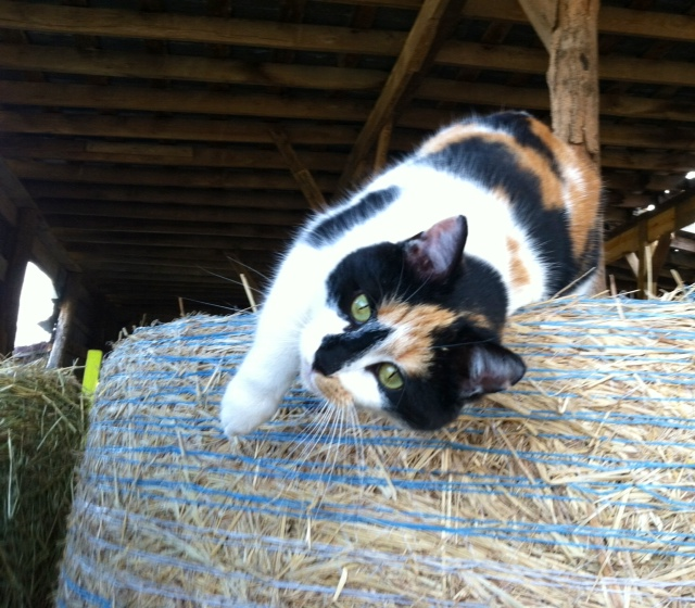 GiGi Girl~ queen of the hay!